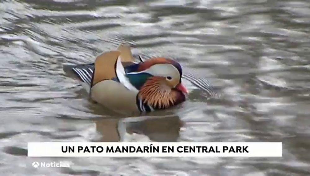 Aparece un pato mandarín en Central Park y nadie sabe de dónde ha salido