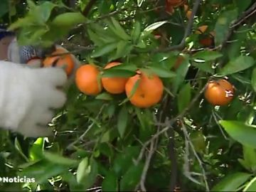 Toneladas de mandarinas pueden quedarse sin recoger este año en Valencia