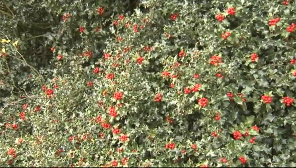 El mayor acebal de Europa meridional está en Soria