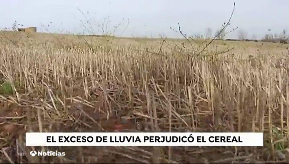 La sequía complica la cosecha del cereal
