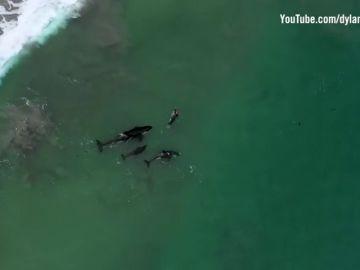 La impresionante imagen de una nadadora entre orcas en aguas abiertas