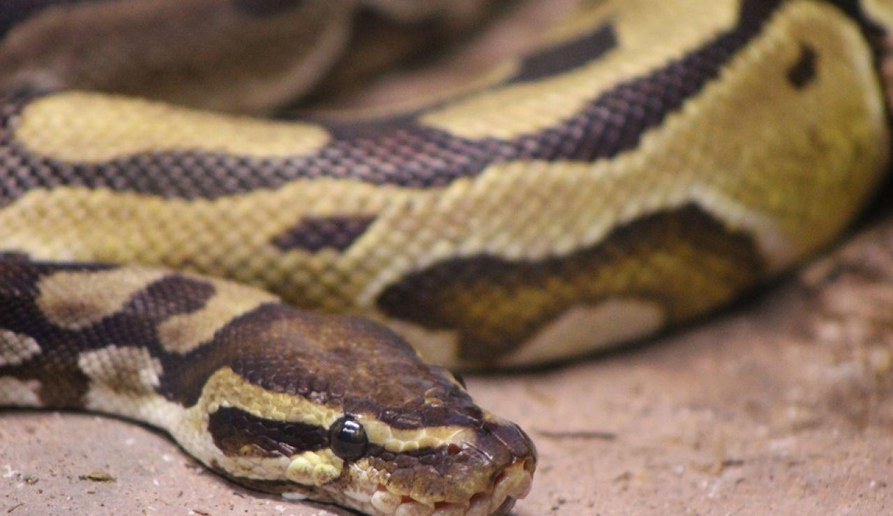 Serpiente pitón