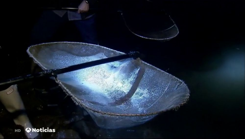 Así es la difícil tarea manual de coger angulas, que se venden a 1.000 euros el kilo