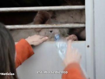 """REEMPLAZO """"Vigilias veganas"""" para despedir al ganado que va al matadero"""