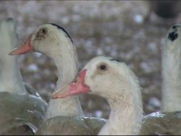 California continua con la defensa a los patos y seguirá prohibiendo el foie