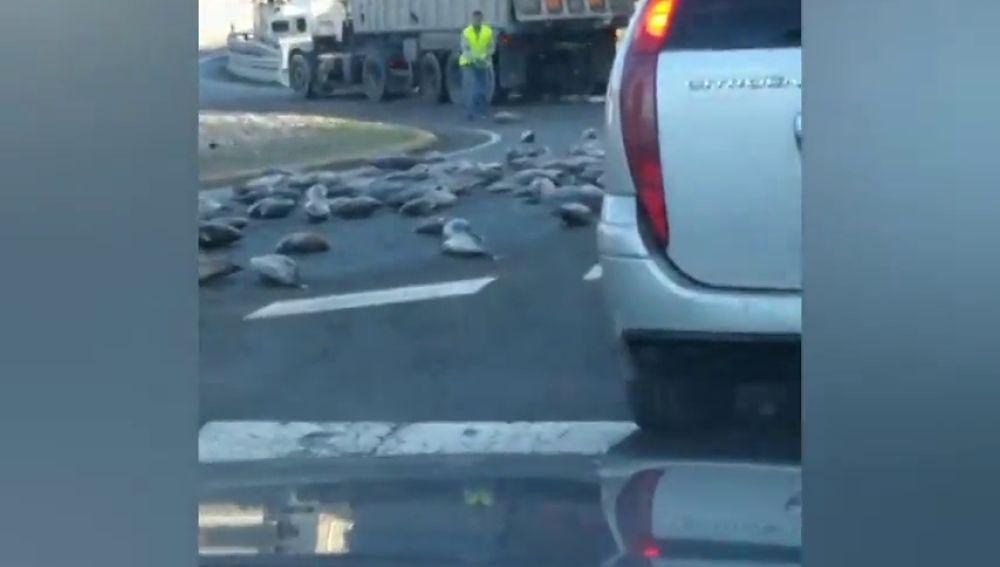 Imagen insólita: un camión pierde su carga y llena la carretera de atunes