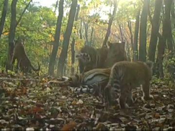 Las tiernas imágenes de una familia de tigres siberianos en un Parque Natural de China