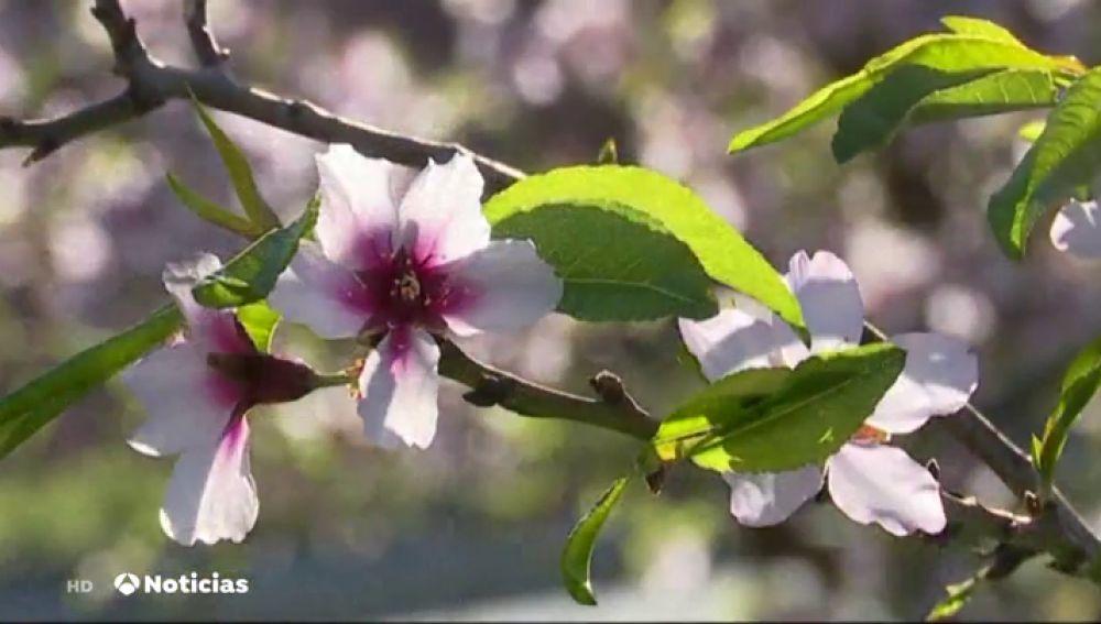 Los almendros han florecido un mes antes en Gran Canarias