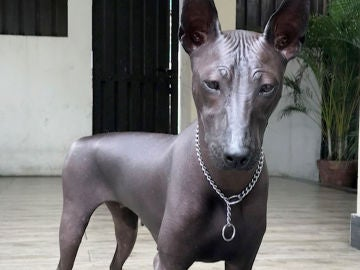 Foto de Piper, perro de la raza Xoloitzcuintle