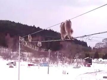 Monos caminando por cables