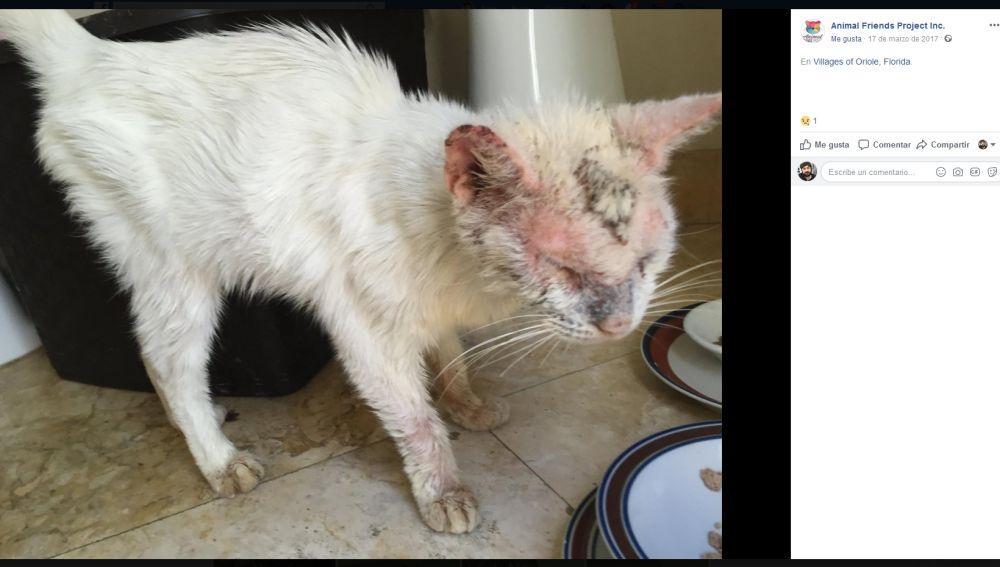 El gato rescatado Cotton