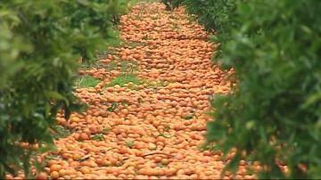 Toneladas de naranjas se quedan sin recoger por la competencia sudafricana