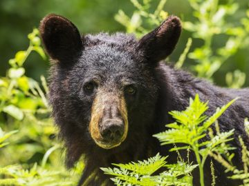 Imagen de un oso negro (Archivo)