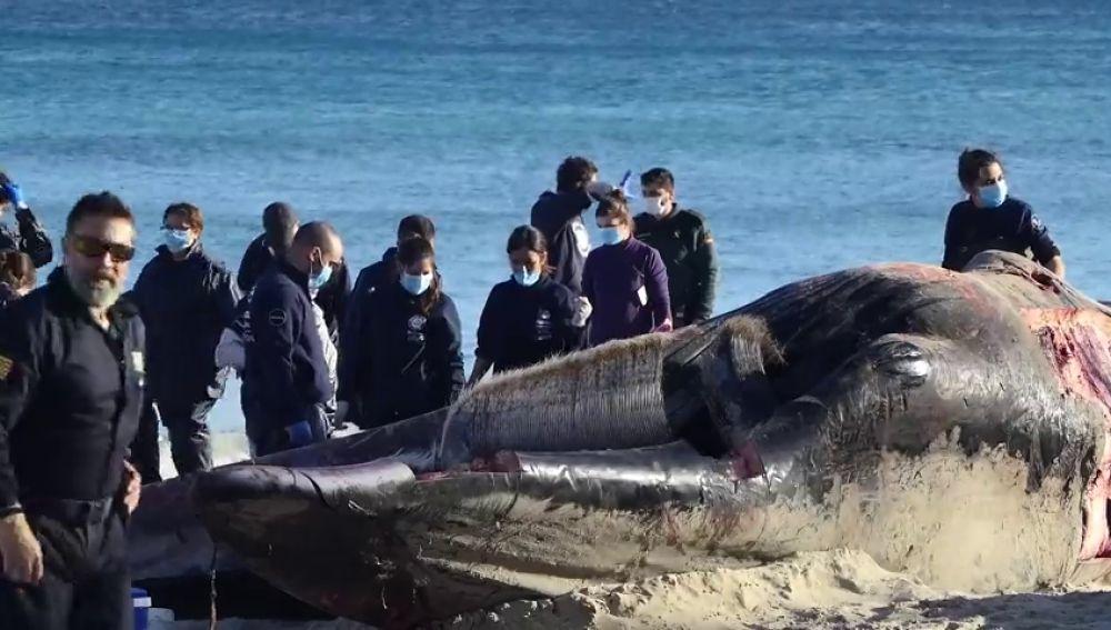 Muere una ballena en Cala Millor con dos cortes producidos por una hélice