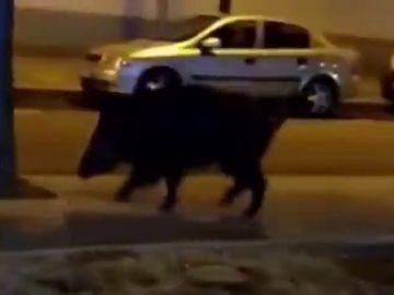 La Guardia Urbana localiza a un jabalí que paseaba por las calles de Reus