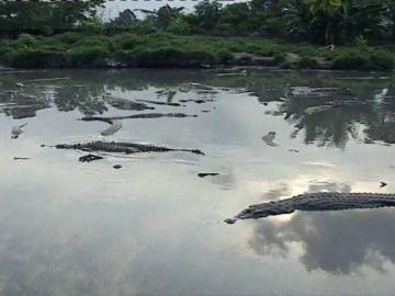 Un hombre muerde en una pata a un cocodrilo para salvar a su hijo