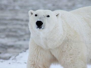 Invasión de osos polares en un archipiélago ruso