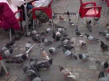 Pienso anticonceptivo para acabar con la invasión de palomas