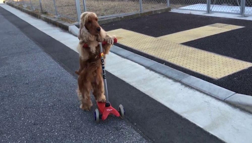 Perro montado en monopatín