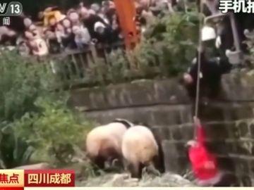Una niña cae al foso de los osos panda en un zoológico de China