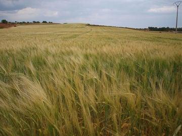 campo cebada