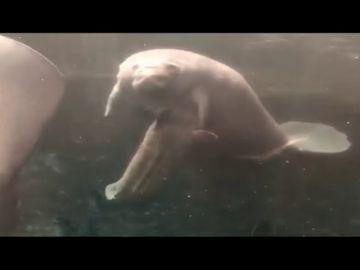 Así es el parto de una cría de manatí antillano