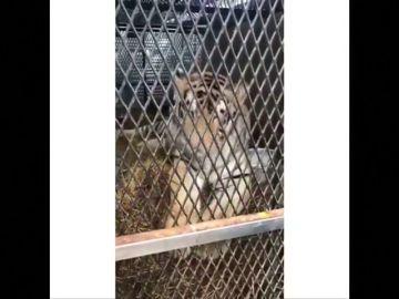 Rescatan a un tigre obeso abandonado en una casa en Houston