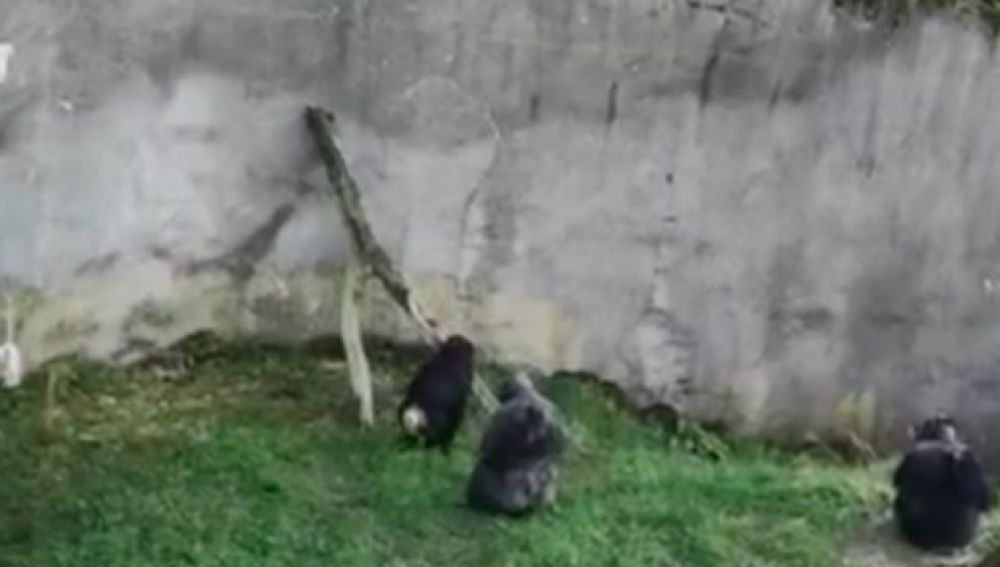 Chimpancés escapando del zoo