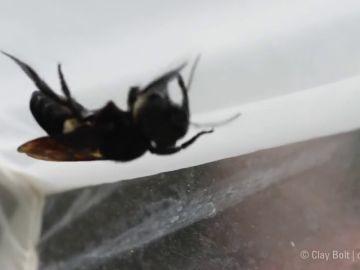 Encuentran viva a la abeja más grande del mundo, que se creía extinta