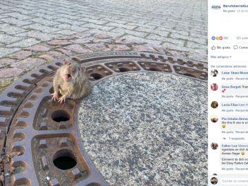 Rata atascada en la alcantarilla