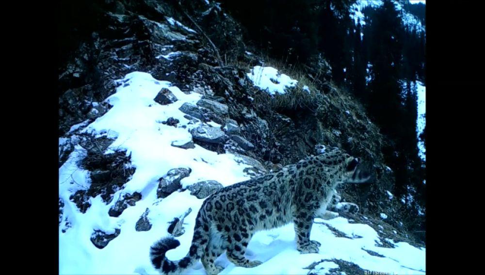 Los espectaculares leopardos de las nieves, una especie en peligro de extinción