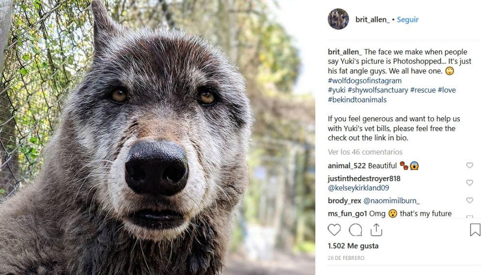 El perro lobo Yuki