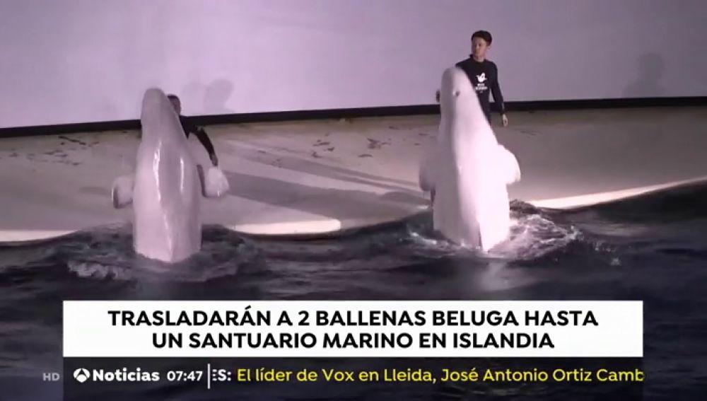 Trasladarán dos ballenas beluga hasta un santuario marino en Islandia