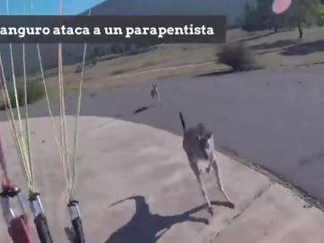 Un canguro ataca a un parapentista que estaba aterrizando