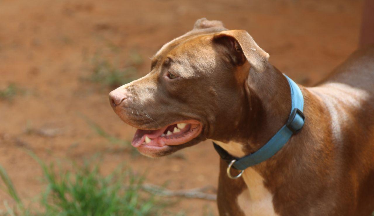 Imagen de archivo de un perro de raza Pitbull