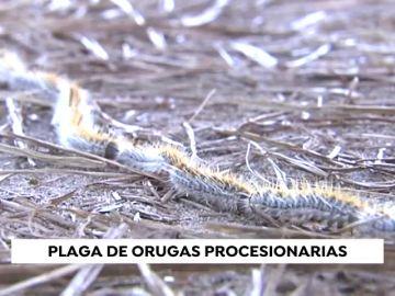 Aumenta la presencia de orugas procesionarias por el aumento de temperaturas