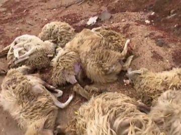 Tres perros provocan una matanza en una granja de ovejas en Telde