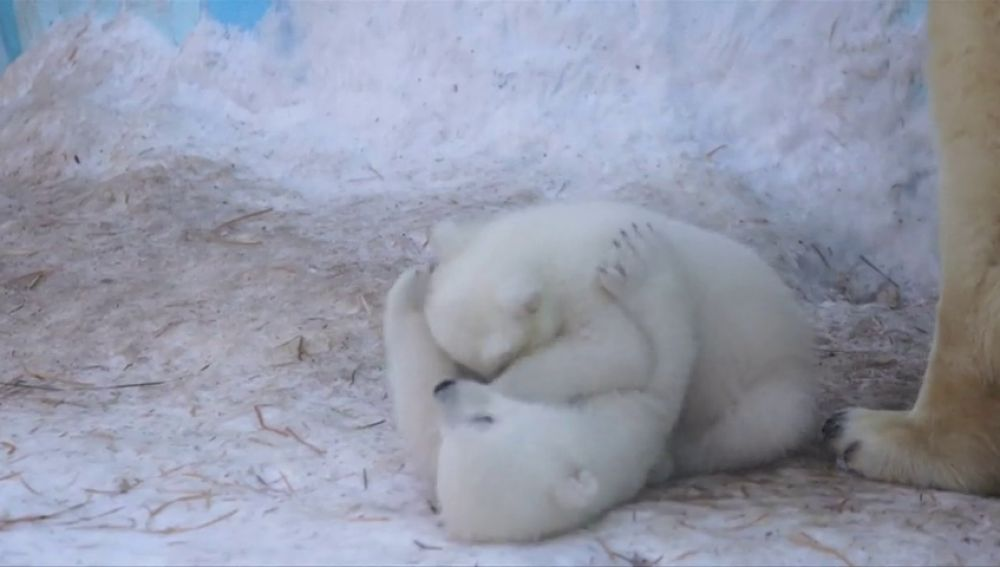 Dos cachorros osos polares acaparan toda la atención en un zoológico de Rusia