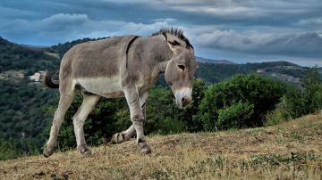 Imagen de archivo de un burro en el campo.