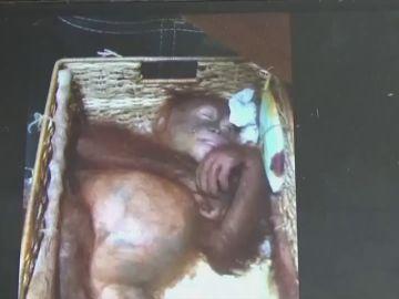 Hallan una cría de orangután en una maleta en el aeropuerto de Bali