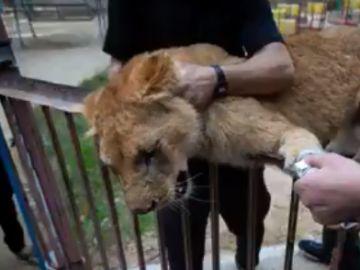 Imagen de la leona a la que han amputado las garras