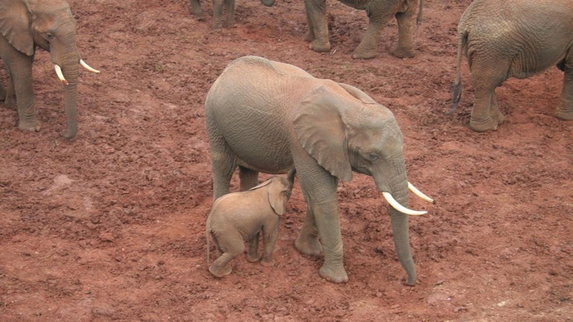 Elefantes (Archivo)