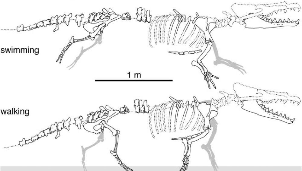 Hallan en Perú una antigua ballena de cuatro patas similar a una nutria