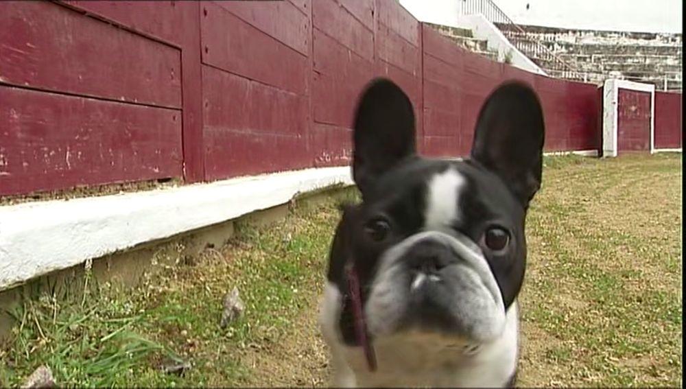 Un bulldog francés en la plaza de toros de Estella