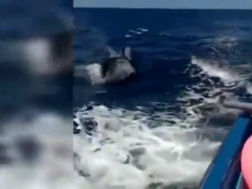 Graban a dos orcas nadando cerca de Fuerteventura