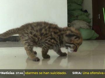 Dos crías de leopardo han sido encontradas por un menor y en un primer momento fueron confundidas con gatos