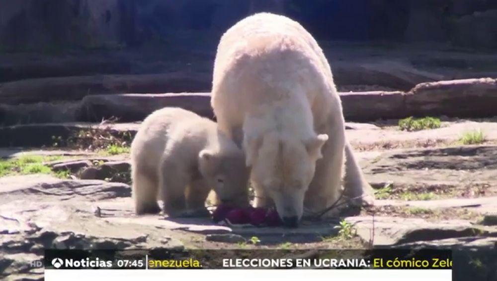 Unos osos polares disfrutran de los huevos de Pascua en el zoo de Berlín