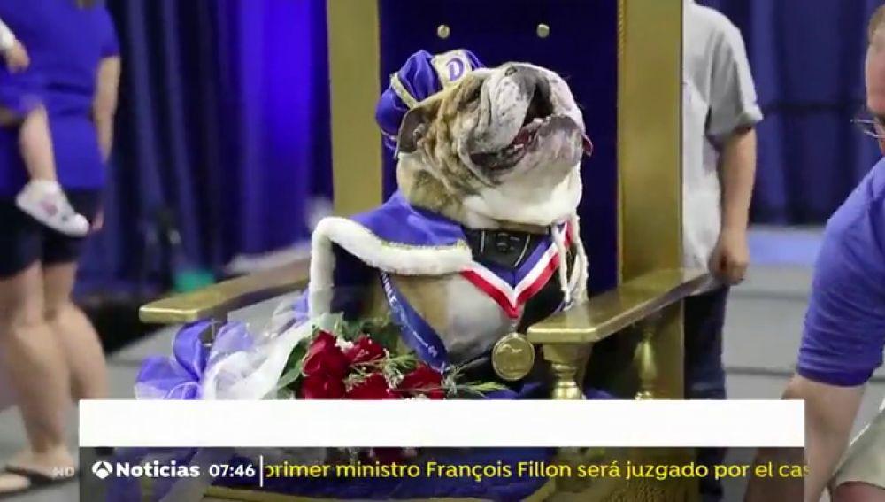 Se celebra el concurso ´el bulldog más hermoso del año´