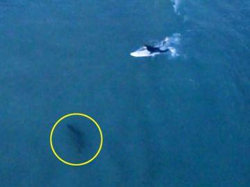 Tiburón persigue a un surfista
