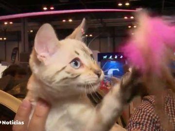 """En la feria de mascotas de Madrid asesoran a las personas a elegir """"el gato que les encaje"""" a cada uno según sus circunstancias"""